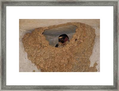 Cliff Swallows Framed Print by Paul J. Fusco
