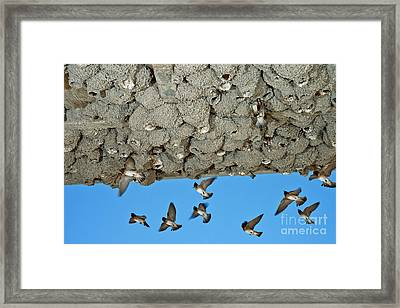 Cliff Swallows Returning To Nests Framed Print