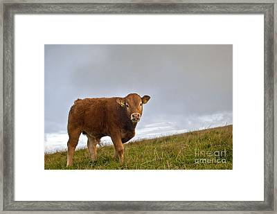 Cliffs Of Moher Brown Cow Framed Print