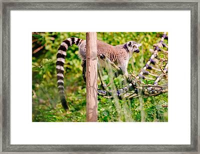 Climbing Lemur Framed Print by Pati Photography