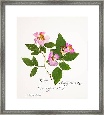 Climbing Prairie Rose  Framed Print