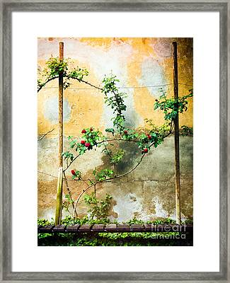 Framed Print featuring the photograph Climbing Rose Plant by Silvia Ganora