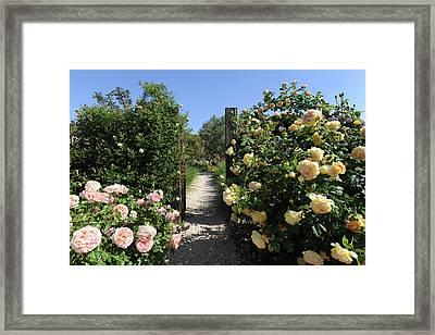 Climbing Roses In Full Bloom, Marnes Framed Print by Josie Elias