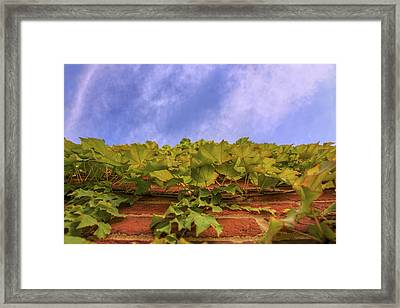 Climbing The Walls - Ivy - Vines - Brick Wall Framed Print by Jason Politte