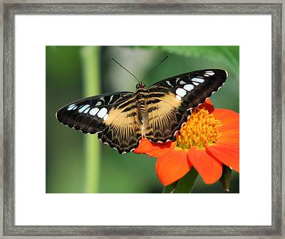 Clipper Butterfly On Flower Framed Print