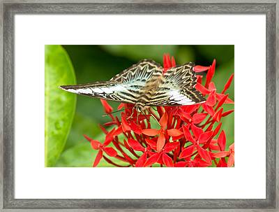 Clipper Butterfly Framed Print by Scott Carruthers
