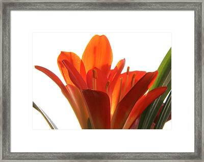 Framed Print featuring the photograph Clivia by Jivko Nakev