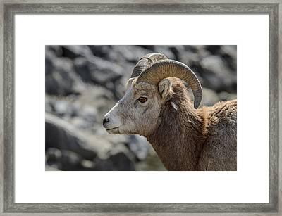 Close Big Horn Sheep  Framed Print