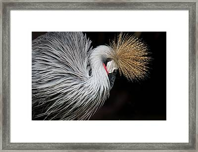 Close Portrait Of A Grey Crowned Crane Framed Print by © Santiago Urquijo