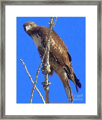 Hawk Close Up  Framed Print