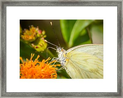 Butterfly Attracted To Mexican Flame Framed Print by Debra Martz