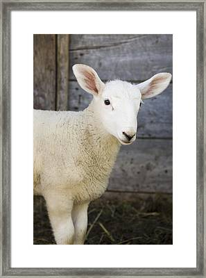 Close Up Of A Baby Lamb Framed Print by Michael Interisano