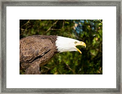 Close-up Of A Bald Eagle Haliaeetus Framed Print by Panoramic Images