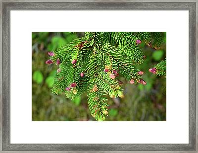 Close Up Of A Balsam Fir Branch Framed Print by Darlyne A. Murawski