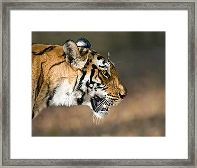 Close-up Of A Bengal Tiger Panthera Framed Print by Panoramic Images