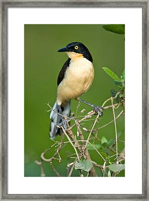 Close-up Of A Black-capped Donacobius Framed Print by Panoramic Images
