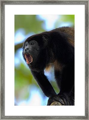 Close-up Of A Black Howler Monkey Framed Print by Panoramic Images