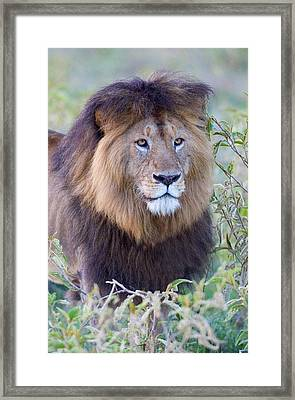 Close-up Of A Black Maned Lion Framed Print