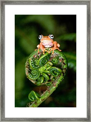 Close-up Of A Blue-eyed Tree Frog Framed Print by Panoramic Images
