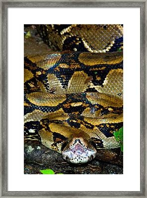 Close-up Of A Boa Constrictor, Arenal Framed Print