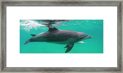 Close-up Of A Bottle-nosed Dolphin Framed Print by Panoramic Images
