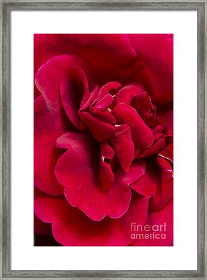 Close Up Of A Bright Red Rose Framed Print by Perry Van Munster