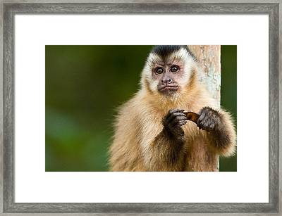 Close-up Of A Brown Capuchin Cebus Framed Print by Panoramic Images