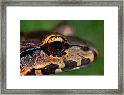 Close-up Of A Bullfrog, Tortuguero Framed Print by Panoramic Images