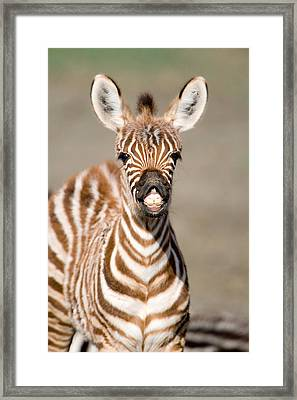 Close-up Of A Burchells Zebra Foal Framed Print by Panoramic Images