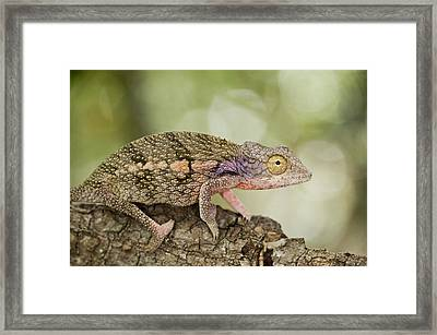 Close-up Of A Chameleon On A Branch Framed Print