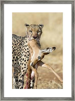 Close-up Of A Cheetah Carrying Its Kill Framed Print