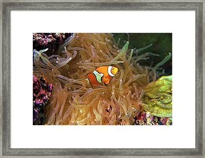 Close Up Of A Clown Fish In An Anemone Framed Print by Miva Stock