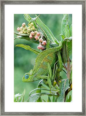 Close-up Of A Dwarf Chameleon Brookesia Framed Print by Panoramic Images