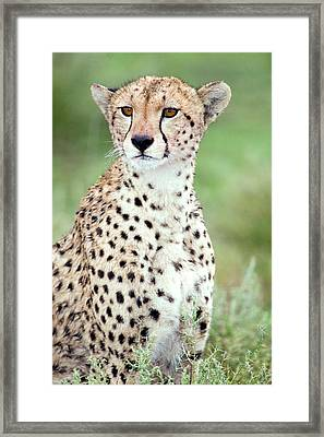 Close-up Of A Female Cheetah Acinonyx Framed Print by Panoramic Images