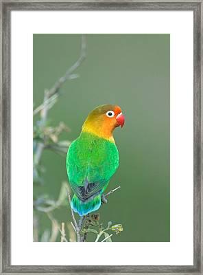 Close-up Of A Fischers Lovebird Framed Print
