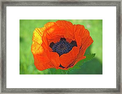 Close-up Of A Flowering Orange Poppy Framed Print by Rona Schwarz