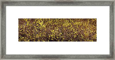 Close-up Of A Forsythia Flowers, North Framed Print
