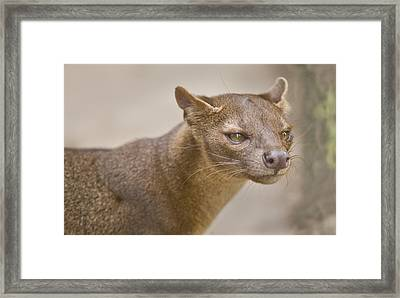 Close-up Of A Fossa Cryptoprocta Ferox Framed Print by Panoramic Images