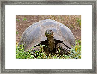 Close-up Of A Galapagos Giant Tortoise Framed Print by Panoramic Images
