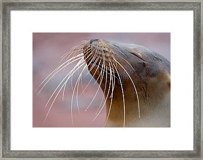 Close-up Of A Galapagos Sea Lion Framed Print
