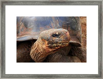 Close Up Of A Galapagos Tortoise, Giant Framed Print by Miva Stock