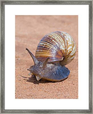 Close-up Of A Giant African Land Snail Framed Print by Panoramic Images