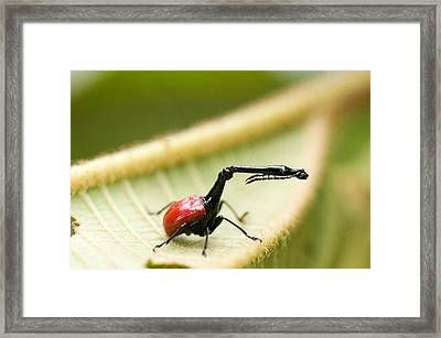 Close-up Of A Giraffe Weevil Framed Print by Panoramic Images