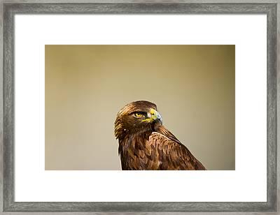 Close-up Of A Golden Eagle Aquila Framed Print