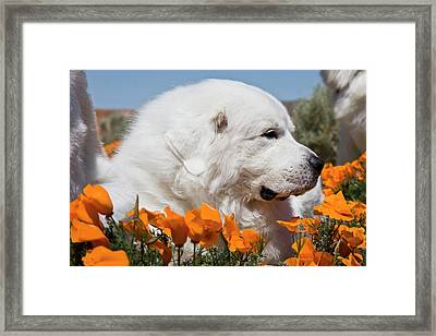 Close-up Of A Great Pyrenees Lying Framed Print by Zandria Muench Beraldo