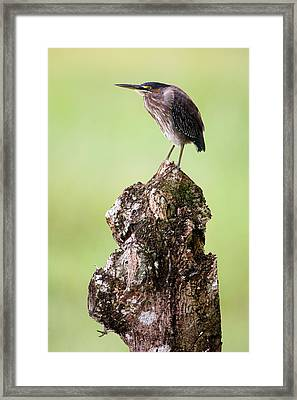 Close-up Of A Green Heron Butorides Framed Print
