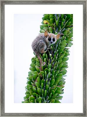 Close-up Of A Grey Mouse Lemur Framed Print