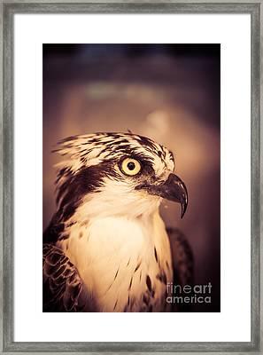 Close Up Of A Hawk Bird Framed Print