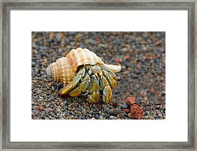 Close-up Of A Hermit Crab Coenobita Framed Print