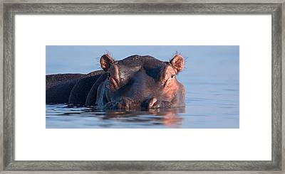 Close-up Of A Hippopotamus Submerged Framed Print